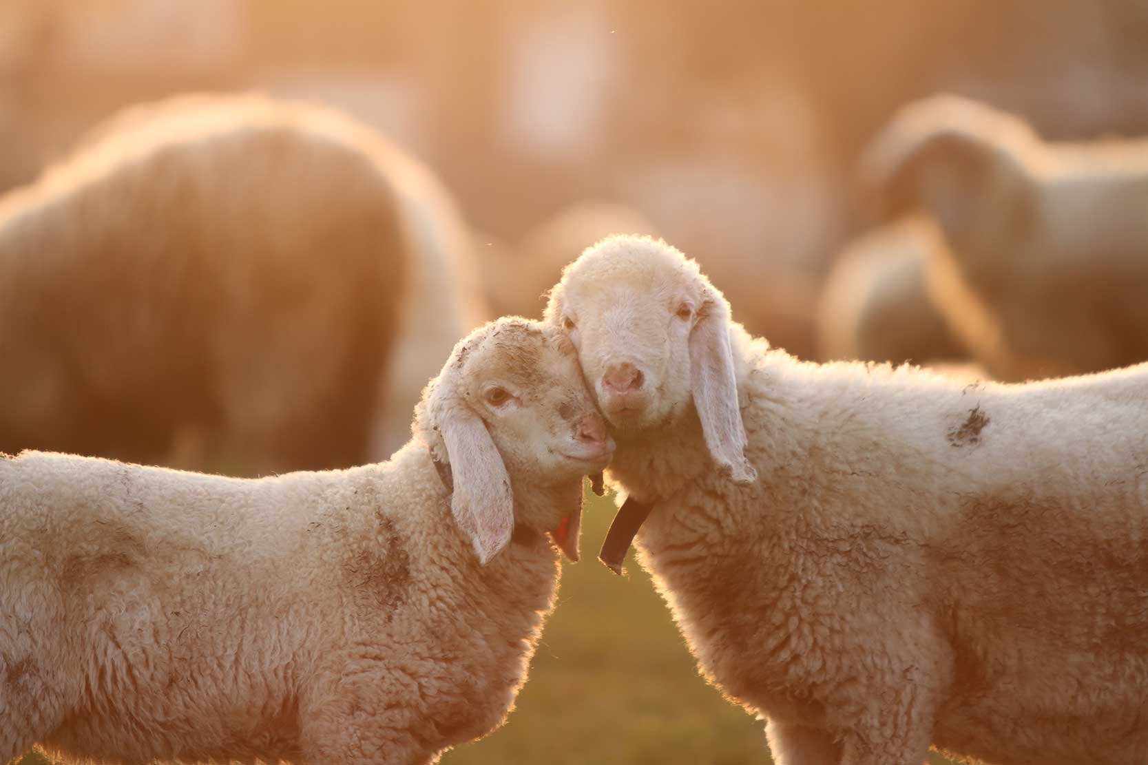 Cuddling Lambs taken during golden hour
